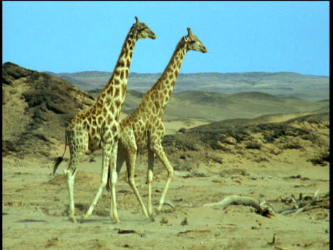 two giraffes walk across sand, namibia - animal neck stock videos & royalty-free footage