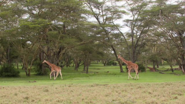 Two giraffes walking in green acacia forest