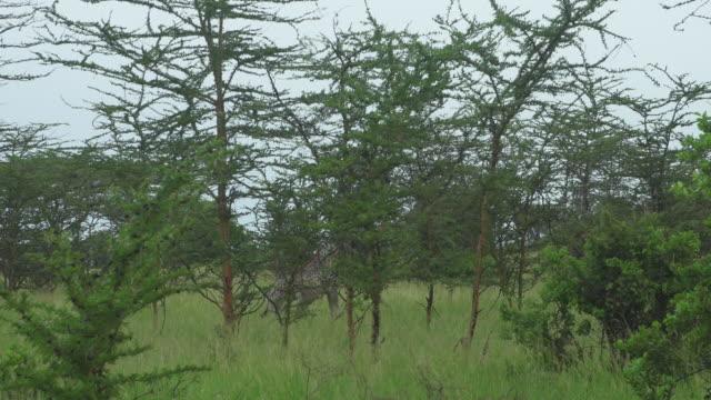vídeos de stock e filmes b-roll de two giraffes walking side by side - wiese