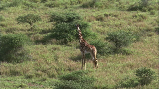 LOW AERIAL, two giraffes (Giraffa camelopardalis) walking through savannah, Serengeti National Park, Tanzania
