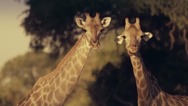 two giraffes watching us - africa - herbivorous stock videos & royalty-free footage