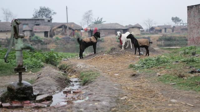 ms two goats butt with horns in village / birgunji parsa nepal - nepal stock-videos und b-roll-filmmaterial
