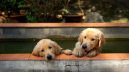 Two golden retriever puppies in the water