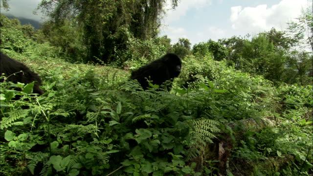 two gorillas crawl through dense jungle vegetation. - gorilla stock-videos und b-roll-filmmaterial