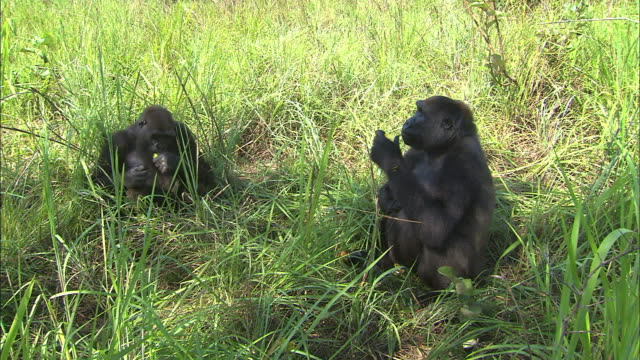 two gorillas eating fruits in tropical jungle, congo basin, africa - two animals stock videos & royalty-free footage