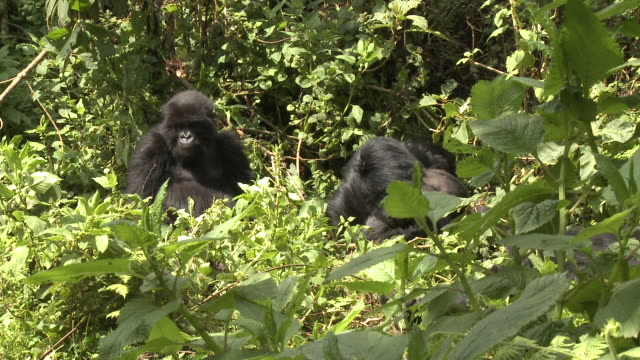 two gorillas enjoy the sun in the volcanoes national park of rwanda. available in hd. - parc national des volcans rwanda stock videos and b-roll footage