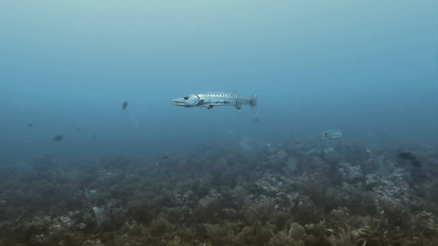 Two Great Barracuda's swimming together at Honduras Bay Islands