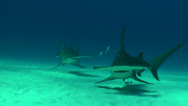 vídeos de stock, filmes e b-roll de two great hammerhead sharks swimming in front of the camera, bimini, bahamas. - rêmora