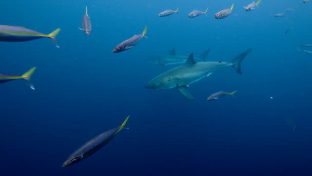 two great white shark - parallel stock videos & royalty-free footage