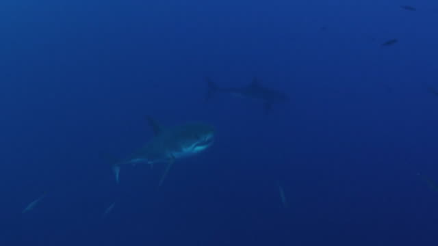 two great whites in deep blue waters off coast of california - hierarchy stock videos & royalty-free footage