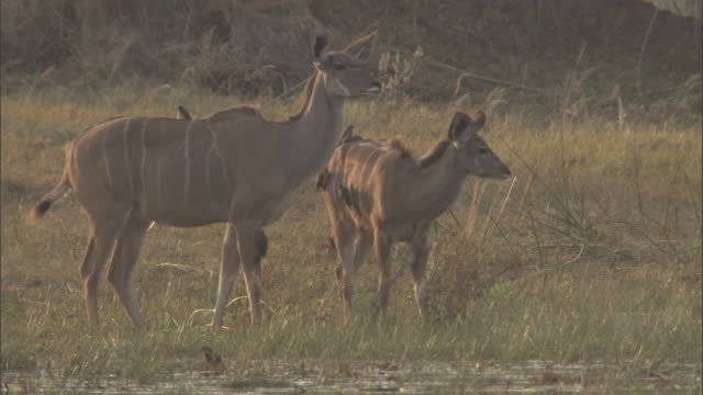 Two greater kudu in a marsh remain alert as red-billed oxpeckers groom them for insects.