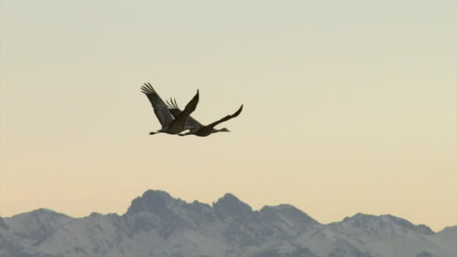 ms ts two greater sandhill cranes flying at sunrise / monte vista, colorado, united states - gru video stock e b–roll