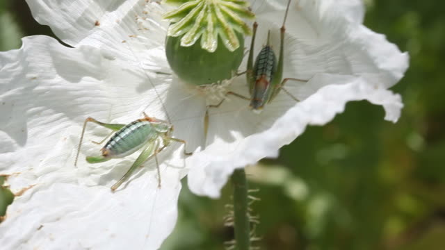 Two Green Grasshoppers On White Opium Poppy Flower