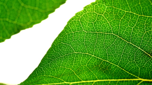 two green leaves display a veined cell structure. - cell structure stock videos & royalty-free footage