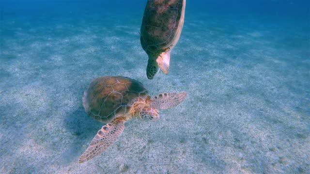 two green sea turtle in caribbean sea near akumal bay - riviera maya / cozumel , quintana roo , mexico - mayan riviera stock videos & royalty-free footage