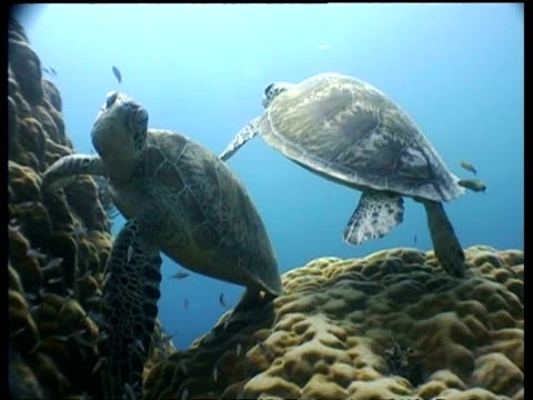 cu two green turtles at cleaning station, ms both turtles swim overhead, silhouetted, sipadan, borneo, malaysia - symbiotic relationship stock videos & royalty-free footage