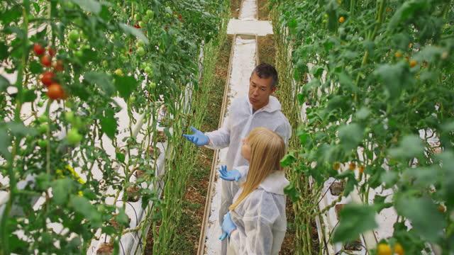 ハイテク温室でトマト植物の成長について話す2人の温室技術者 - グリーンハウス点の映像素材/bロール