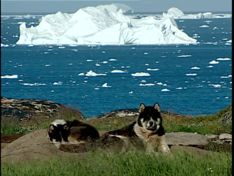 ws two greenlandic sled dogs used by fishermen in winter for ice travel resting on shore, iceberg in background, ilulissat, greenland - greenland stock videos & royalty-free footage