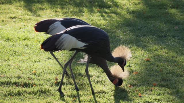 two grey crowned cranes picking through the grass - 動物の脚点の映像素材/bロール