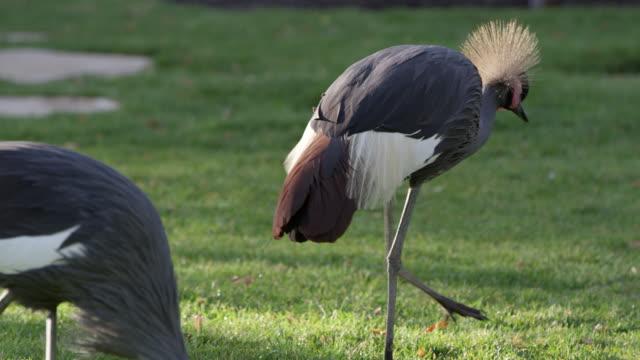 two grey crowned cranes wandering through the grass - 動物の脚点の映像素材/bロール