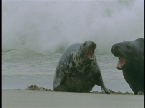 Two grey seals bellow at each other on the beach of Sable Island, Canada.