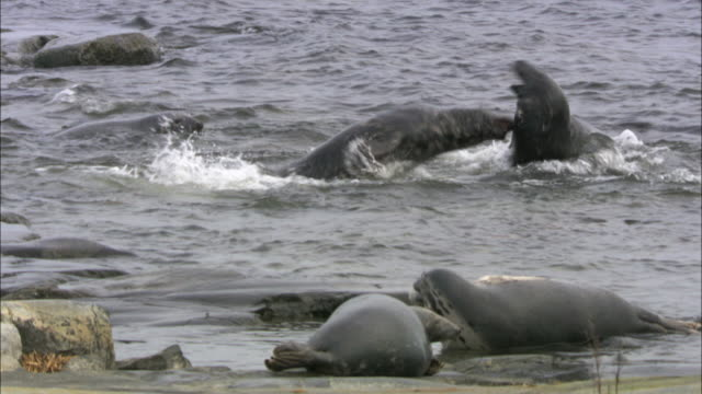 ws pan two grey seals fighting in water / sweden    - grey seal stock videos & royalty-free footage
