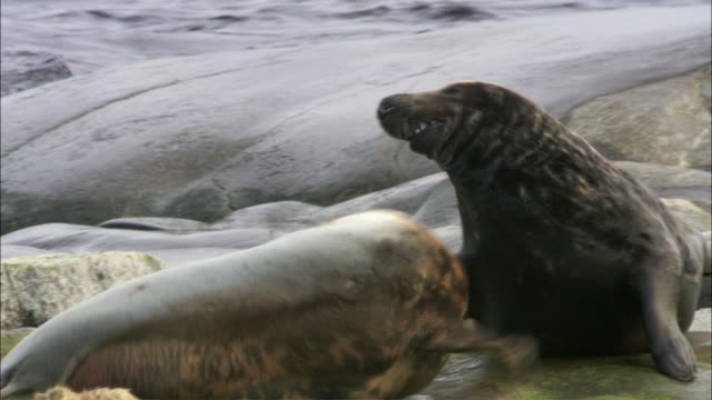 ms tu two grey seals fighting / sweden - grey seal stock videos & royalty-free footage
