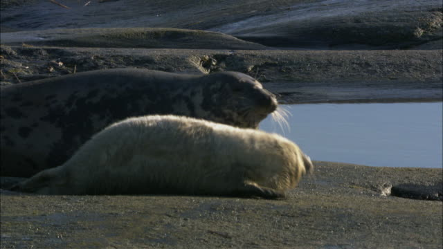 ms pan two grey seals heading towards sea / sweden - kegelrobbe stock-videos und b-roll-filmmaterial