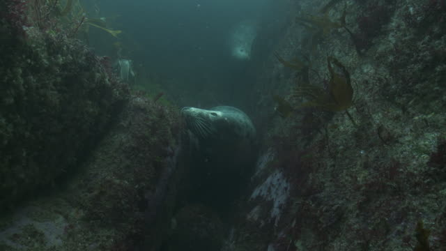 two grey seals hiding in crevice and then moving off - seals stock videos and b-roll footage