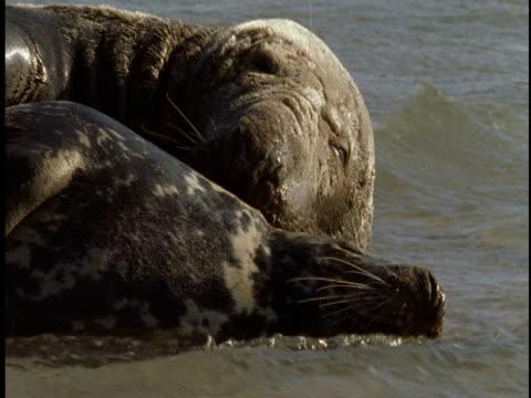 two grey seals lie in the surf. - 大西洋諸島点の映像素材/bロール