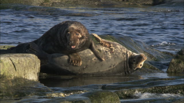 ms two grey seals lying on top of each other / sweden    - grey seal stock videos & royalty-free footage