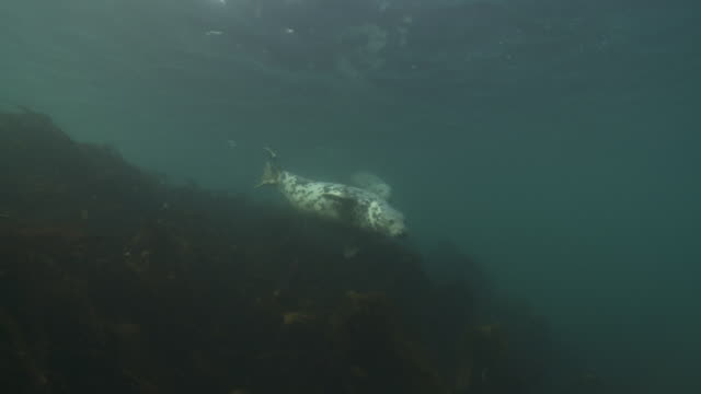two grey seals swimming towards camera over kelp forest - gråsäl bildbanksvideor och videomaterial från bakom kulisserna