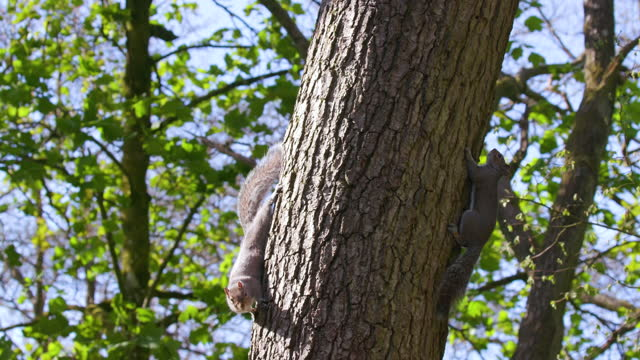 two grey squirrels on tree, scarborough, north yorkshire, england - rodent stock videos & royalty-free footage