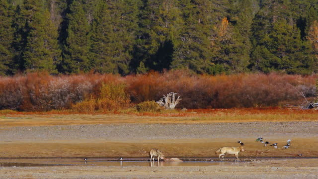 vídeos y material grabado en eventos de stock de ws two grey wolves on fresh elk carcass / tetons, wyoming, united states - grupo de animales