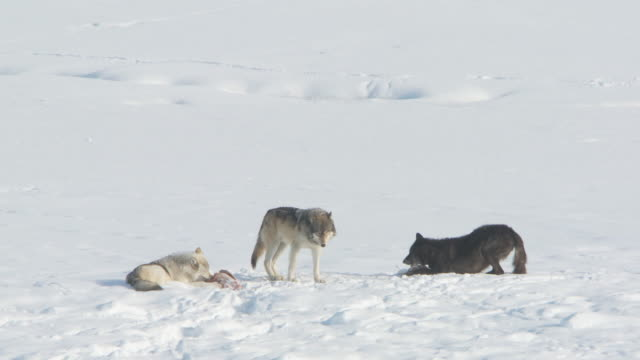 MS Two grey wolves sitting on snow and chewing frozen meat and one wolves on snow / Yellowstone National Park, Wyoming, United States