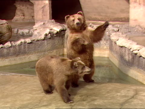 Two grizzly bears in a zoo rise up on their hind legs to beg for food