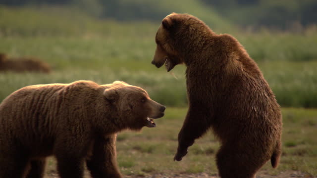 two grizzly bears wrestle - play fight stock videos and b-roll footage