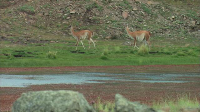 ws, pan, two guanacos (lama guanicoe) walking along lakeshore, patagonia, argentina - lakeshore stock videos & royalty-free footage