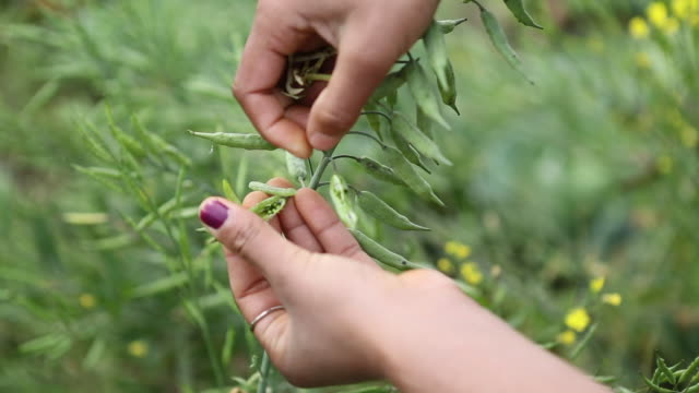 cu of two hands that are harvesting mustard seeds on a mustard plant field in a rural area in a village near birgunj a border town in parsa district... - mustard stock videos & royalty-free footage