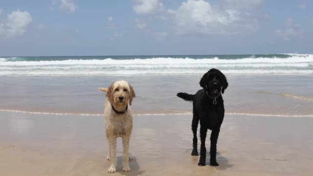 two happy dogs playing on pet friendly beach - two animals stock videos and b-roll footage