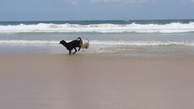 two happy dogs playing on pet friendly beach - two animals stock videos & royalty-free footage
