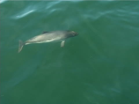 mcu two harbour porpoises surfacing2006). st lawrence, canada. - surfacing stock videos and b-roll footage