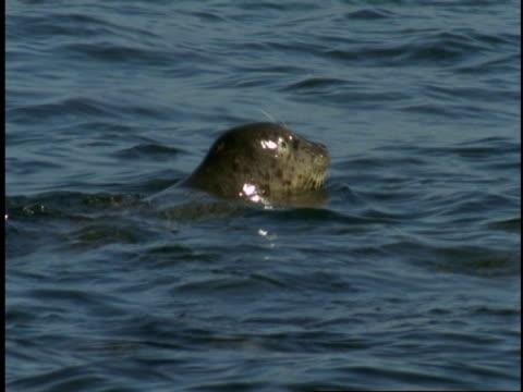 vídeos de stock, filmes e b-roll de two harbour seals dive under the surface of monterey bay. - mamífero aquático
