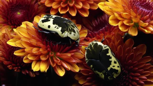 two harlequin flower beetles on some orange flowers. - invertebrate stock videos & royalty-free footage