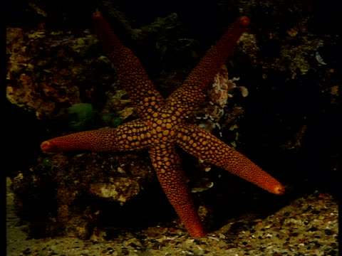 Two Harlequin shrimps topple starfish off of coral so they can eat its tubular feet
