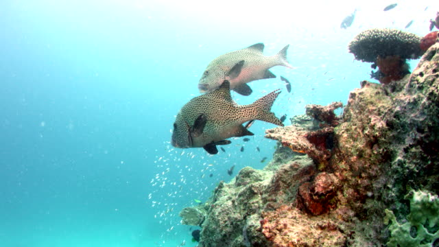 Two Harlequin Sweetlips swimming over reef
