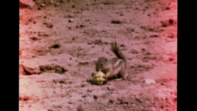 Two Harris' antelope squirrels running on rocky land sand smelling each other standing on hind legs VS Squirrel holding cleaning cactus fruit Food...