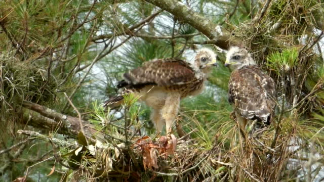 two hawk chicks almost grown and ready to leave their nest and are trying out their wings - animal wing stock videos & royalty-free footage