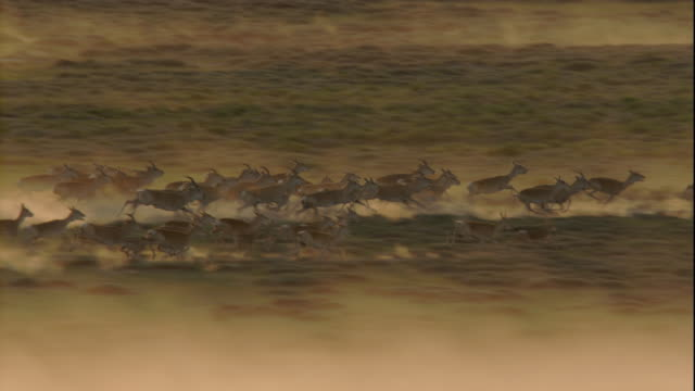vidéos et rushes de two herds of gazelles stampede over the mongolian manchurian steppe. available in hd. - troupeau