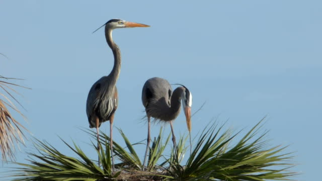 two herons building a nest - great blue heron stock videos and b-roll footage